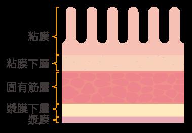 胃の胃壁の断面図